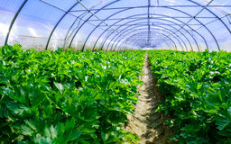 Growing vegetables in a greenhouse Royalty Free Stock Images