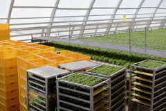 Growing vegetables in a greenhouse Stock Photos