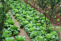 Growing vegetables. Vegetables are grown on the land lush Stock Photos