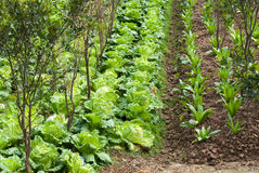 Growing vegetables Stock Image