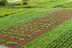 Growing vegetables in the home garden, cultivated fields with sprouts of agricultural crops. Cultivated fields with sprouts of agricultural crops, growing Royalty Free Stock Photos