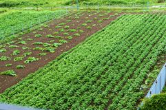 Growing vegetables in the home garden, cultivated fields with sprouts of agricultural crops. Cultivated fields with sprouts of agricultural crops, growing Stock Photography
