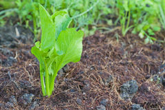 Growing Vegetables Organically Stock Images