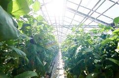 Growing vegs Stock Photo