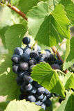 Growing on a vine. Grapes growing on a vine Stock Photo