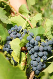 Growing on a vine. Grapes growing on a vine Stock Image