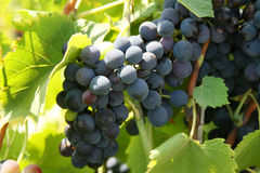 Growing on a vine. Grapes growing on a vine Royalty Free Stock Photos