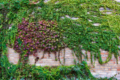 Growing vine on the brick wall of an old building Royalty Free Stock Photography