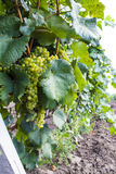 Growing vine with grapes Royalty Free Stock Photography