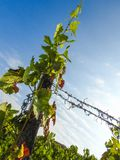 Growing vine plant at the vineyards. Growing vine plant in summer at the vineyards stock image