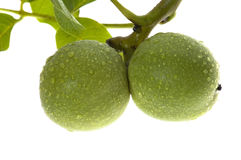 Growing walnuts isolated on the white Royalty Free Stock Image