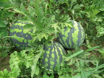 The growing water-melon in the field Royalty Free Stock Photos
