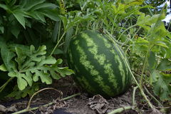 The growing water-melon in the field Royalty Free Stock Photography