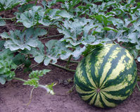 Growing watermelon on the field Stock Photos