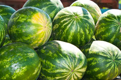 Growing watermelon on the field Stock Images