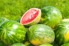Growing watermelon on the field Royalty Free Stock Photo