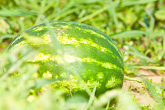 Growing watermelon on the field Stock Image