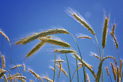 Growing wheat Royalty Free Stock Images