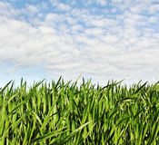 Growing wheat. Royalty Free Stock Photo
