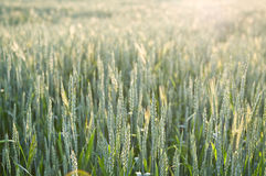Growing wheat Stock Photo