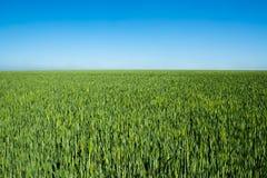 Growing wheat Stock Photos