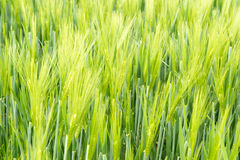 Growing barley royalty free stock images
