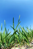 Growing wheat and blue sky. Growing wheat stems, ground and clear blue sky above Royalty Free Stock Image