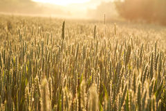 Growing wheat close-up in morning dew on background of sunrise Stock Photos