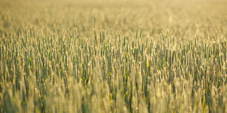 Growing wheat close-up in morning dew on background of sunrise Stock Photography