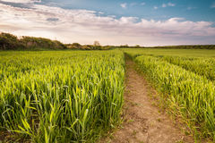 Growing Wheat Crop Royalty Free Stock Images