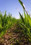 Growing wheat. Royalty Free Stock Photos