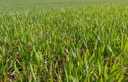 Growing wheat on field. Stock Images