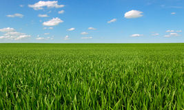 Growing wheat on a field. Royalty Free Stock Photo