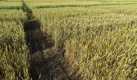 Growing wheat fields with different sorts and colors Stock Photos