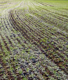Growing wheat under snow. Royalty Free Stock Image