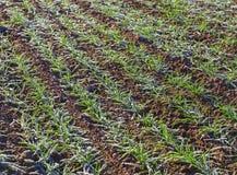 Growing wheat under snow. Stock Photos