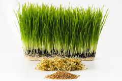 Growing wheatgrass Stock Photography