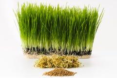 Growing wheatgrass Stock Photography