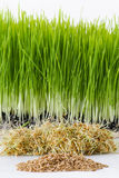 Growing wheatgrass Stock Photos