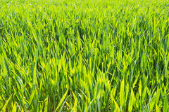 Growing wheatplants in summer light Royalty Free Stock Images