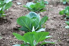 Growing white cabbage, field ground landscape. Green leaves agriculture farmers plant. Selective focus. Royalty Free Stock Image