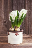 Growing white hyacinth flower in white flowerpot on wooden background. Toned, soft focus Stock Photography