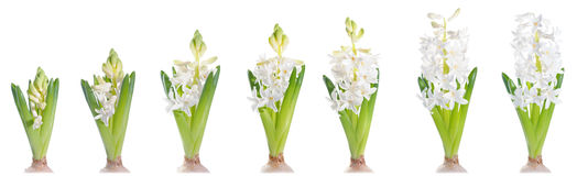Growing white pearl hyacinth, isolated on white. White pearl hyacinth, growth progression; isolated on white Stock Photos