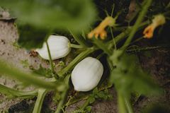 Growing white pumpkins at a farm stock photography