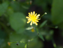 Growing wild Nipplewort yellow Lapsana communis green leaves stock image