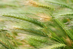 Growing wild wheat Stock Photo