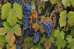 Growing wine grapes hanging from the stem, surrounded by colourf Stock Photo