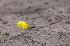 Growing  yellow flower sprout Royalty Free Stock Photos