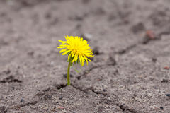 Growing  yellow flower sprout Royalty Free Stock Photo