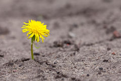 Growing  yellow flower Royalty Free Stock Photos